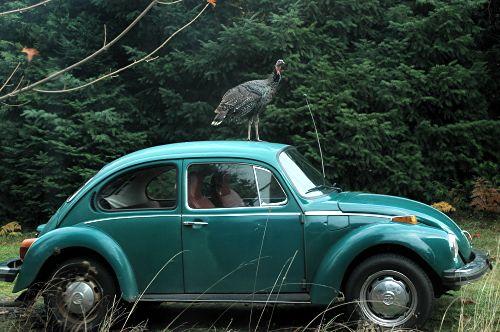 Wild turkey on VW Beetle