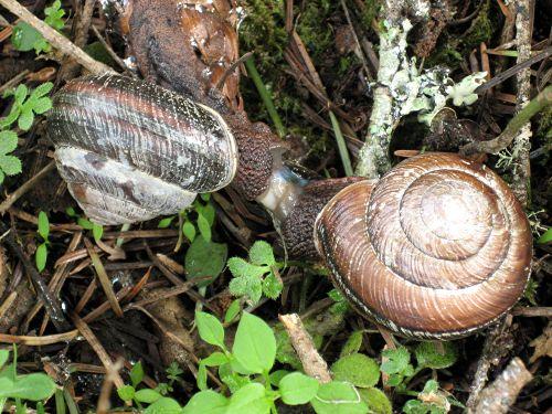 snail-sex