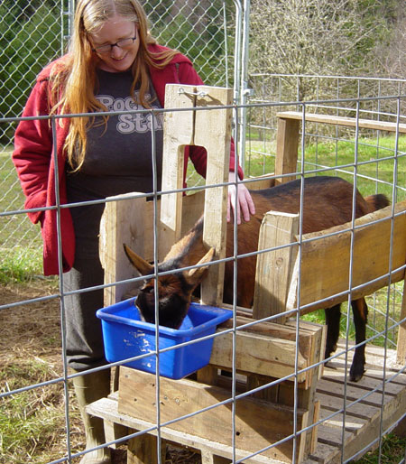 goat-in-milking-stand
