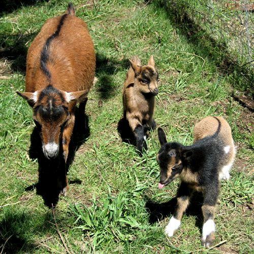 goatsinsunshine2