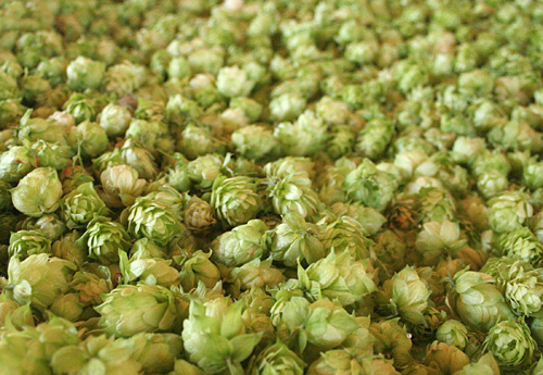 Hops cones drying