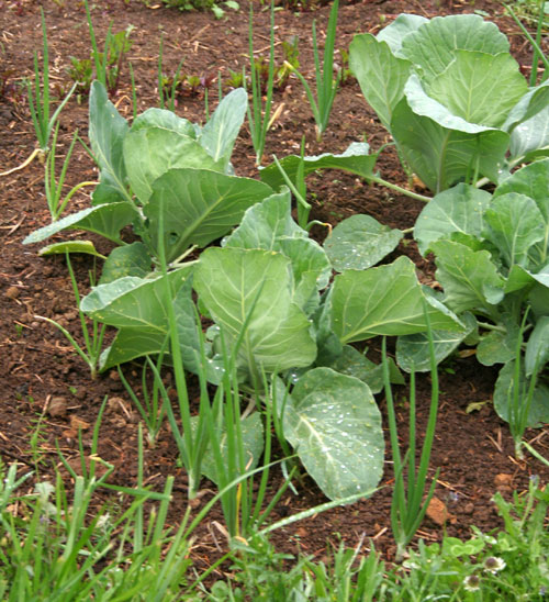Cabbages20100601