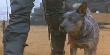 Aussie Cattle dog from the film Mad Max