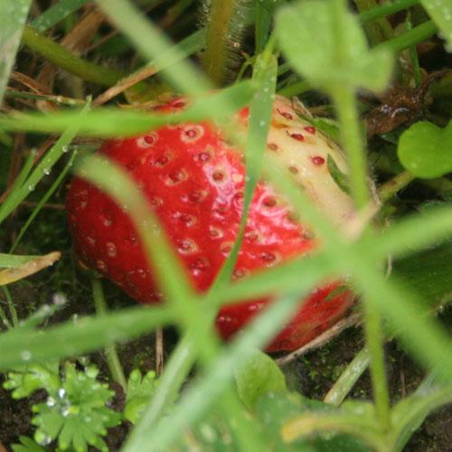 Strawberry20100601