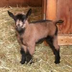 goatgirl-IMG_4889