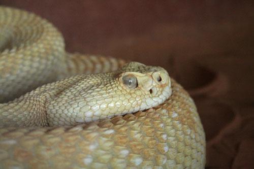 Living Desert State Park Zoo, Carlsbad, New Mexico - Albino Rattlesnake