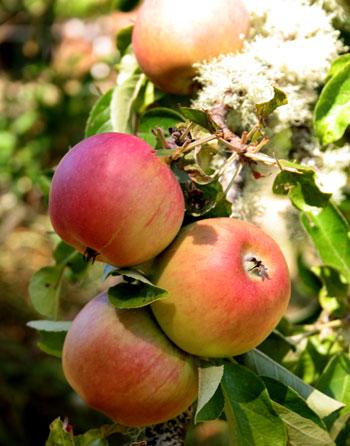applesapplesapples.jpg