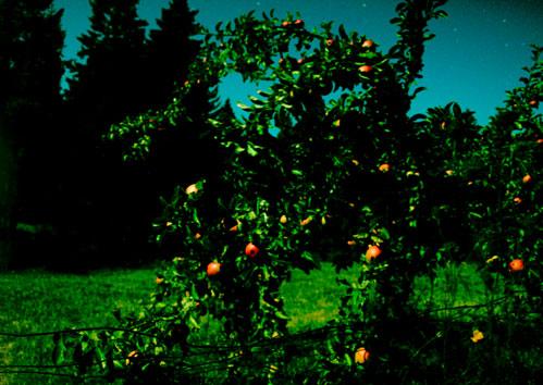 Apple tree at night