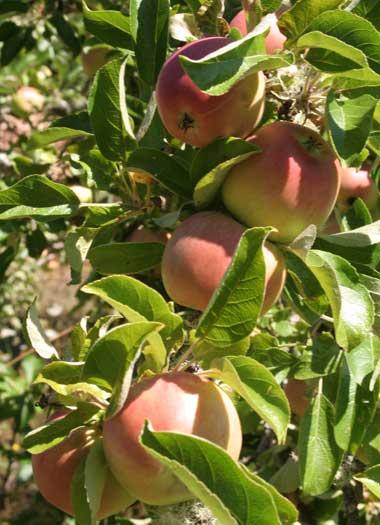 muchos manzanas