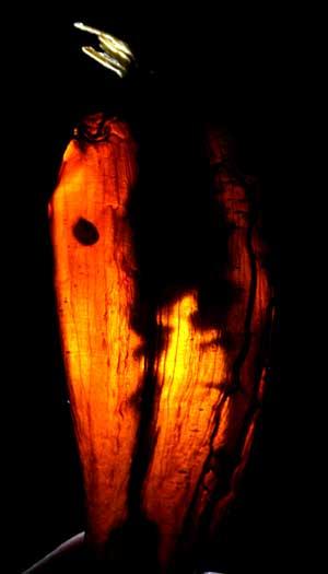 hot pepper backlit