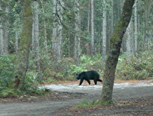 Bear in Ocala National Forest