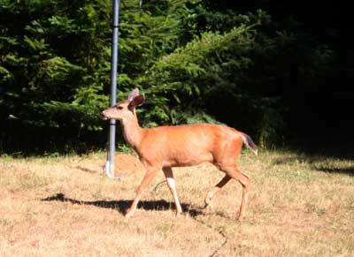 Deer and satellite dish