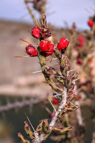 cactus berry type thing