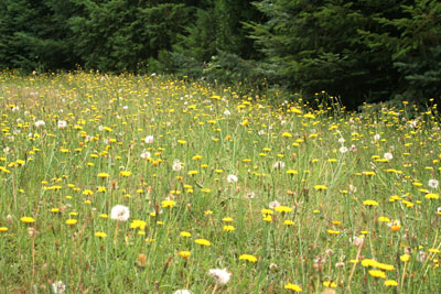 Not regular dandelions, but closely related we think