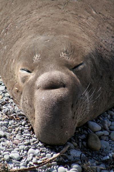 elephant_seal_1.jpg
