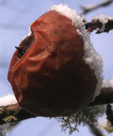 frozen apple on tree