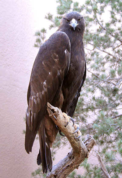 Living Desert State Park Zoo, Carlsbad, New Mexico - Golden Eagle