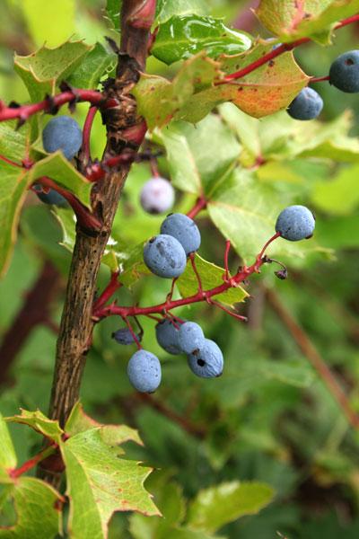 grapelike fruit