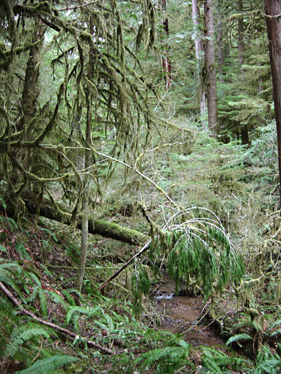 Old growth forest near Low Pass, Oregon