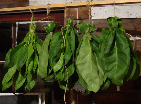 Tobacco leaves hanging to cure