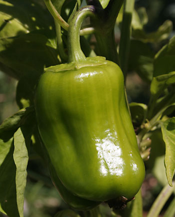 pepper1.jpg