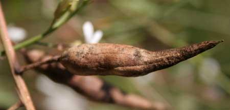 radish seedpod