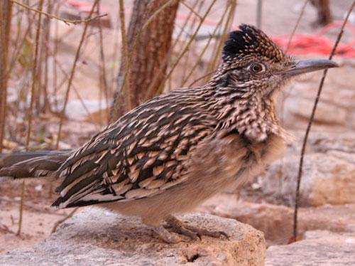Living Desert State Park Zoo, Carlsbad, New Mexico - Roadrunner