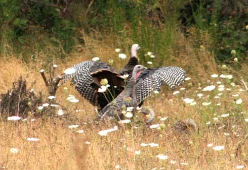 Wild turkey in Cheshire, Oregon