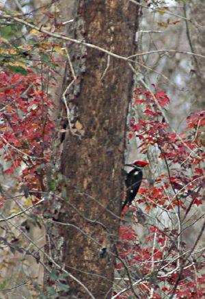 Woodpecker in Ocala National Forest